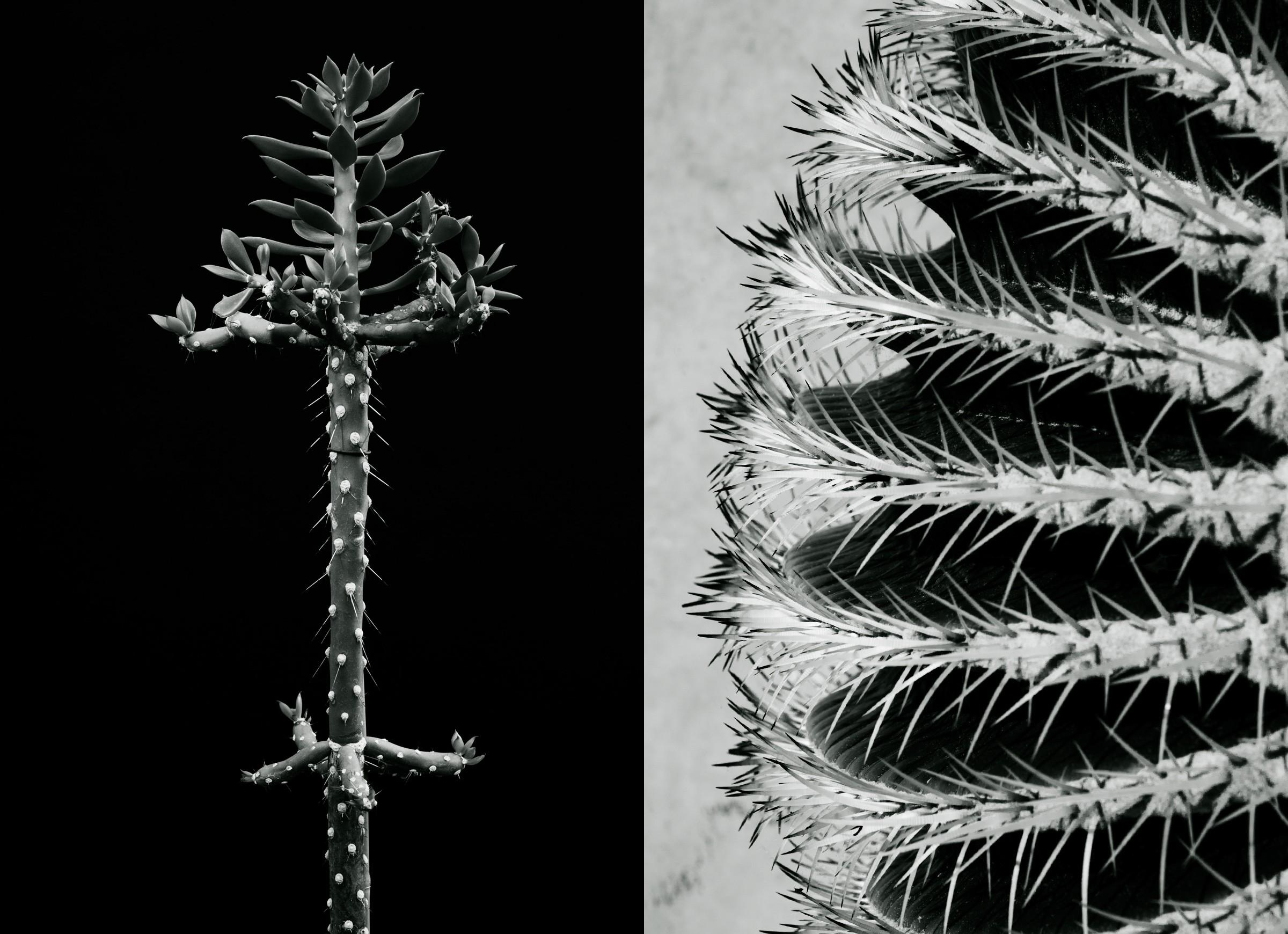 """Johanna Ruebel """"Cactaceae #03"""" (Quiabentia verticillata & Echinocactus grusonii)"""