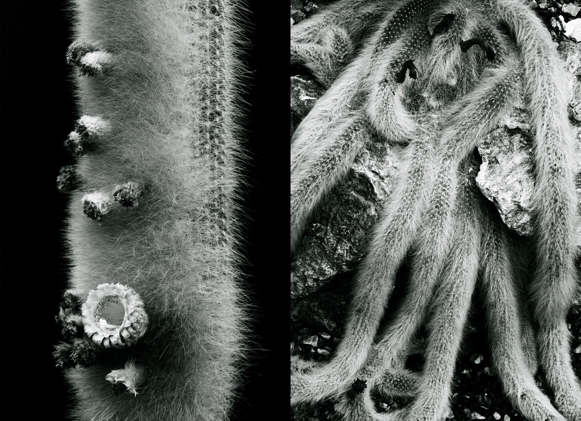 "Johanna Ruebel ""Cactaceae #11""(Vatricania guentheri & Hildewintera colademononis"