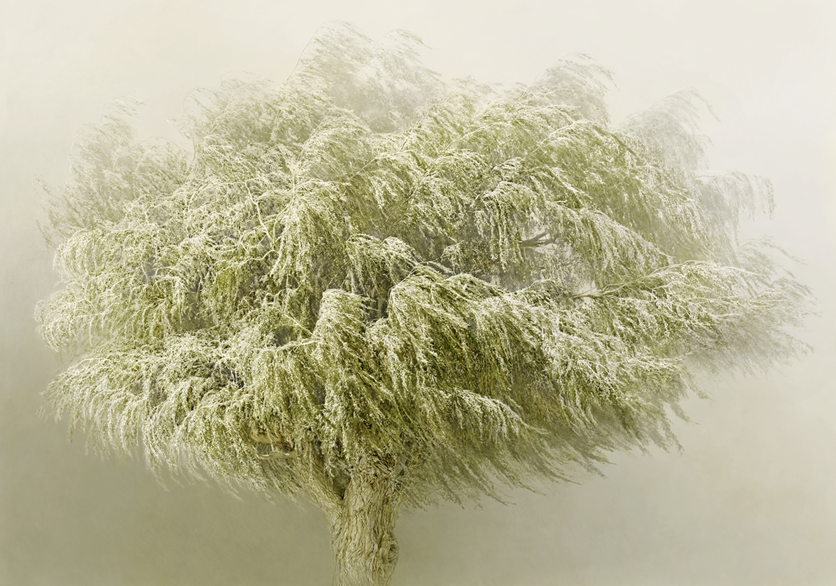 Irene Kung, Willow Tree / Copyright: Irene Kung