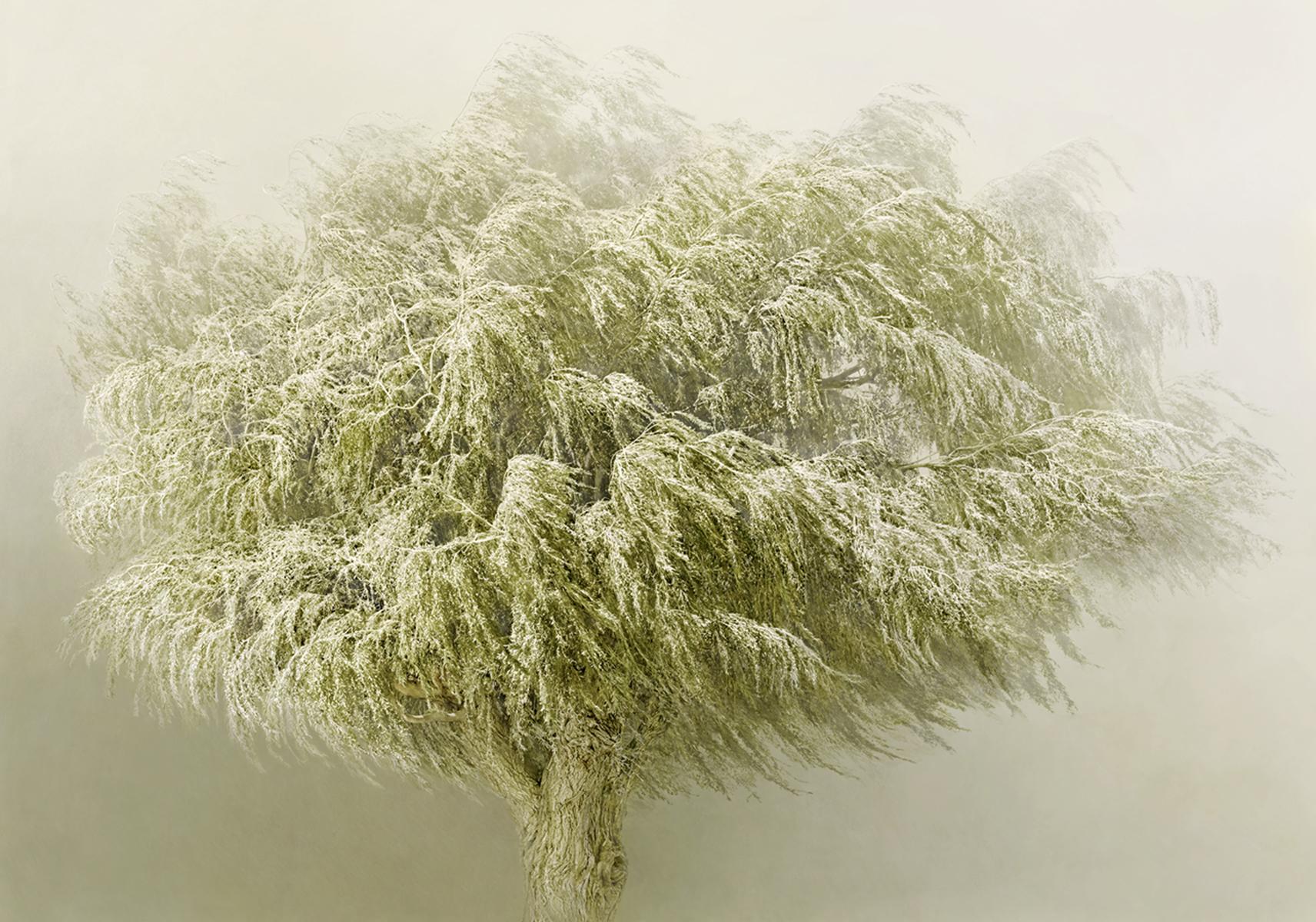 Irene Kung, Willow Tree / Copyright: Irene Kung